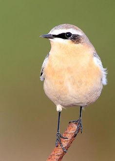 Northern Wheatear. Breeds in AK & extreme N Can., appearing very rarely in northern USA in fall. Winters in Eurasia & N Africa