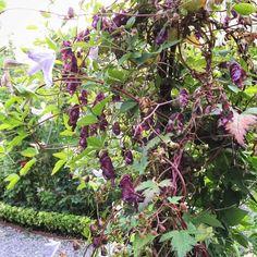 Den är bara för vacker slingerstormhatten med sina makalösa förgskiftningar i mörkt vinröd till lila. En av sensommarens och höstens finaste. Ska vara härdig i hela landet eller åtminstone till zon 6.  <<< Beautiful Aconitum Hemsleyanum 'Red Wine'. >>>