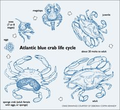 Crab Life Cycle Venn-Diagram | Primary Learning |Crab Life Cycle Diagram