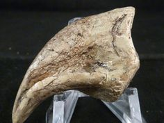Tyrannosaurus Claw http://www.fossilshack.com/claws.html