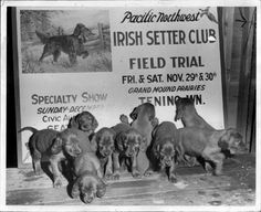 A whole bunch of irish setter puppies, 1946 | 30 Cute Dog Photos From The '30s