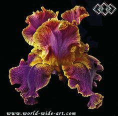 Tall Bearded Iris - Entangled
