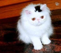 A cat with a permanent top hat.