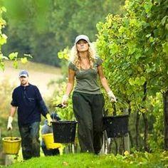 Weather 'hangover' prevents record-breaking UK wine harvest