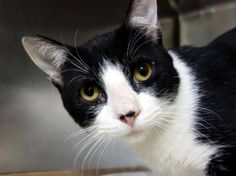 TO BE DESTROYED 10/19/14 ** Max rubs on the assessor's hand, purrs, and appreciates petting on the head and body. Beginner Max interacts with the Assessor, solicits attention, is easy to handle and tolerates all petting. ** Manhattan Center  My name is MAX. My Animal ID # is A1016414. I am a male black and white domestic sh mix. The shelter thinks I am about 2 YEARS  I came in the shelter as a STRAY on 10/05/2014 from NY 10466,