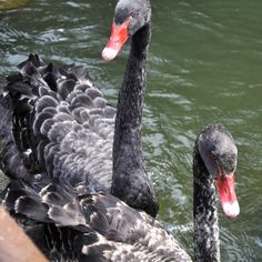 Keesje en Koosje zijn twee zwarte zwanen die je in de vijver bij de Gondoletta in de Efteling kunt tegenkomen.   Keesje en Koosje zijn uit eerbetoon vernoemd naar de in 2013 overleden Keesje die 30 jaar te vinden was in de Efteling.