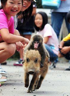 baby monkey, baby monkey, riding on a pig, baby monkey