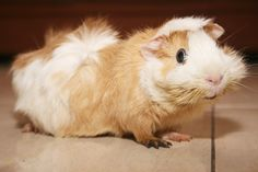 oh i miss moose =[ i need another guinea pig