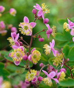 Až 150 cm vysoká trvalka se zvláštními květy. To je:  Žluťucha nádherná (Thalictrum).  Elegantní, vysoká trvalka s nádhernými, filigránskými květy. Nejlépe se jí daří ve stínu. Ve společnosti keřů funguje jako barevné oživení tmavších míst, kde působí vzdušným, nenuceným dojmem. Stanoviště: slunce - polostín. Doba kvetení: červenec - srpen. Výška: do 150 cm. Vhodná k řezu.