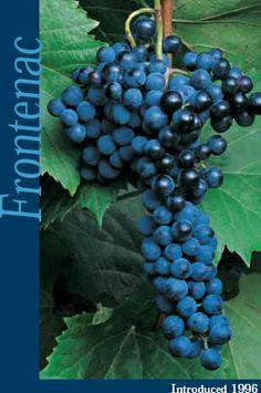 One of the grapes grown in our vineyard.  Frontenac