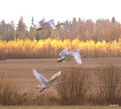 Iltalento   Suomen Luonto.  Flight in the night, Finland