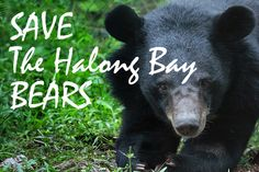 Save the Halong Bay Moon Bears - Cruelty beyond belief to the most adorable bears - read more at http://travelwithkat.com/2015/01/19/save-halong-bay-moon-bears/