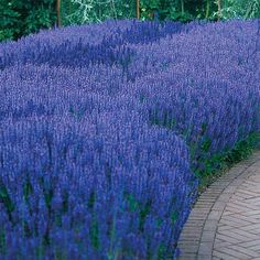 """Blue Queen Salvia - Blooms profusely for months! Enjoy summer-long beauty year after year with this brilliant violet-blue Salvia, a member of the mint family. Heat- and drought-resistant hybrid blooms profusely for months with plump spikes of double blooms. Grows 15-18"""" tall, 12-18"""" wide in full sun or partial shade. Ships in a 3"""" pot. Zones 5-9. Salvia nemorosa 'Blaukonigin'"""