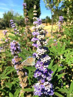 L'été n'est pas fini, aux jardins des sources les papillons et les abeilles s'en donnent à cœur joie #eyrignac #jardin #garden #summer #wildlife #papillon #abeille #campagne #champêtre