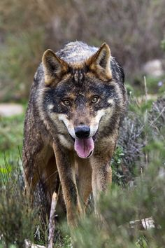 Iberian Wolf by Scott Denny