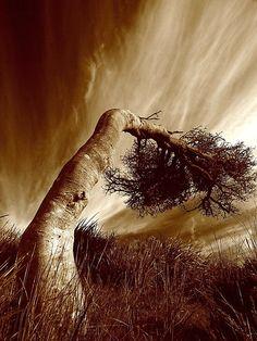 ~~wind bent ~ Coastal Banksias, west coast, Tasmania, Australia's island state by David Murphy~~