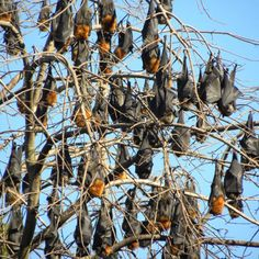 An unseasonably warm winter sees more than 50,000 bats take up residence in a suburb in Brisbane's north.