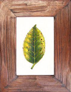 leaf  series Camellia japonica  original drawing by charleydarbo, $79.00