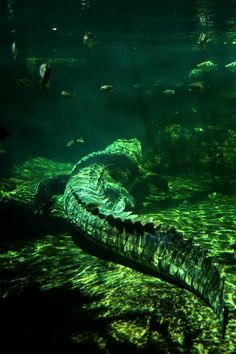 Waiting underwater Wildlife Photography, Animal Photography, Beautiful Creatures, Animals Beautiful, Animals And Pets, Cute Animals, Welt, Alligators, Reptiles And Amphibians