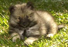 keeshond puppy. I miss my Sadie girl. Someday I'll get another Keeshond. They are so cute!