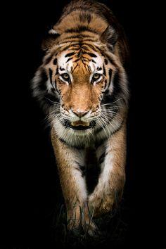 Amur Tiger On the Prowl II -