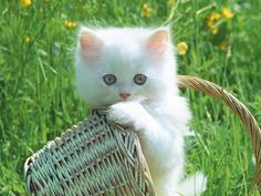 Cute White Kittens | Cute cats » White-Cat                                                                                                                                                                                 More