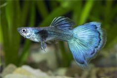 Guppy Männchen blau dark, Poecilia reticulata