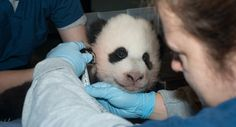 Baby panda gets a name - Associated Press