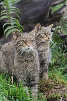 Scottish Wild Cats - even though there are wildcats across Europe and Asia, there are only about 100 left in Scotland.