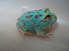 Blue Pacman Frog | Share
