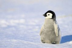 Help I can't stop looking at pictures of penguins