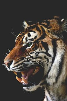 A Majesty #photography #animals #tigers Photo: Shaun Wilson - http://ift.tt/1HQJd81