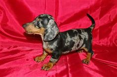 Dapple dachshund. Gracie has some Dapple in her but I want a full Dapple someday. So cute!