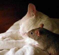 a cat & a rat