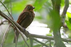 The russet-winged schiffornis (Schiffornis stenorhyncha), is a species of Neotropical bird. It is found from Panama to northern Colombia and northern Venezuela. Its natural habitats are subtropical or tropical moist lowland forests and subtropical or tropical moist montane forests.