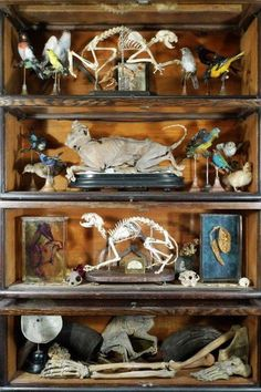 Cabinet of Cats, Birds, Assorted Other Specimens. Ryan Matthew's Private Collection. Photo by Sergio Royzen. Curiosity Killed The Cat, Curiosity Shop, Cabinet Of Curiosities, Natural Curiosities, Collections D'objets, Displaying Collections, Haunted Dollhouse, Weird And Wonderful, Display Case