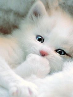 Fluffy white kitten - absolutely precious!!!