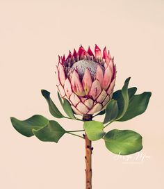 Flowers photography - original fine art photograph king protea flower art flower photography home decor office decor Tropical Flowers, Motif Tropical, Exotic Flowers, Amazing Flowers, Pink Flowers, Real Flowers, Unique Flowers, Flor Protea, Protea Flower