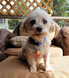 Harry is an adoptable Maltese searching for a forever family near Denver, CO. Use Petfinder to find adoptable pets in your area.