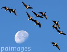 A skein of Pink-footed geese fly past the moon.