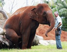 One of four Asian elephants sits on a branch watched by a keeper as she explores her new enclosure at Taronga Zoo November 3, 2006 in Sydney, Australia. (Photo by Ian Waldie/Getty Images)