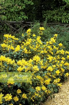Mahonia aquifolium 'Apollo' AGM - Image No: 0511471 - GAP Gardens, garden and plant stock photography Planting Shrubs, Garden Shrubs, Flowering Shrubs, Landscaping Plants, Trees And Shrubs, Shade Garden, Garden Plants, Shade Shrubs, Shade Plants