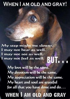 Senior pets need love too. If you live in Ontario, Canada you can request an application to adopt a senior dachshund Basset Dachshund, Dachshund Funny, Dachshund Love, Beagle, Daschund, Dachshund Rescue, Piebald Dachshund, Dachshund Quotes, Rescue Dogs