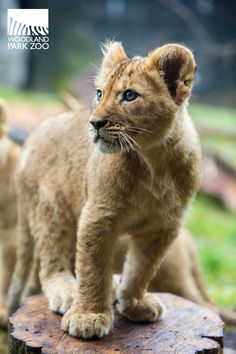 #Lions need names, too! Help name two lion cubs at Woodland Park #Zoo. Log on to zoo.org/namethecubs to name two cubs and win a grand prize pack from the zoo! #namethecubs