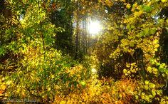 abundant gold by Sam Okamoto www.tahoesierraphotos.com
