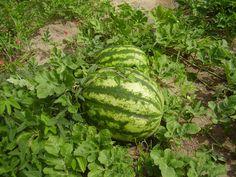 Tenha uma linda plantação de melancia em sua casa. Tudo que você precisa em como plantar melancia orgânica, contendo época de semear e colheita.