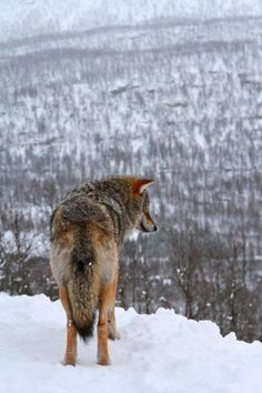 Wolf Lodge, Narvik, Norway - resort that's a part of Norway's Polar Park in Narvik, allows guests to mix and mingle with gray wolves that roam freely on their large enclosure.