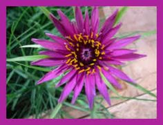 Image result for growing salsify