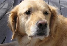 I love Golden Retrievers when they are old and gray