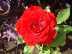 Rosa del color del amor apasionado y de la sangre que bombea el corazon